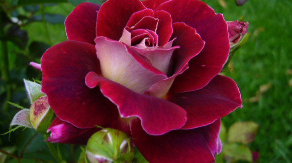 roza 2